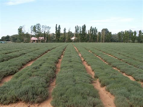 Culture Des Plantes by La Production Fran 231 Aise De Plantes Aromatiques Du D 233 Clin