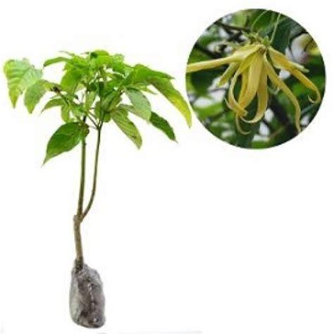 Pupuk Untuk Bunga Kenanga jual tanaman kenanga hp 085608566034