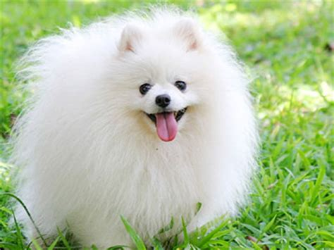 small white fluffy breeds pomeranian information characteristics facts names