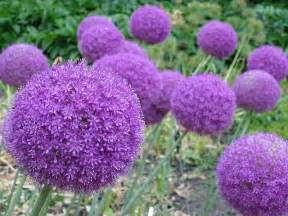 purple flower garden purple outdoor plants bing images