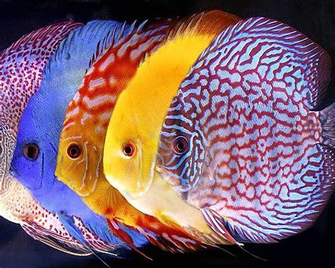 symphysodon discus tropical fish  wallpaper hd mobile