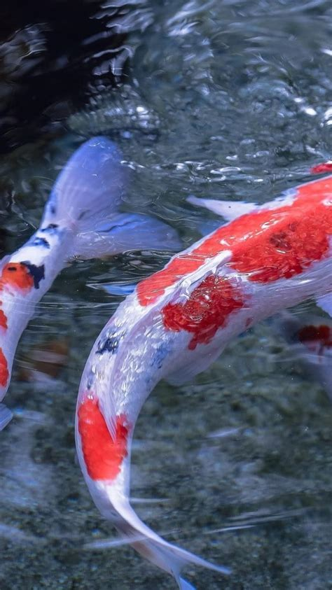koi fish wallpaper