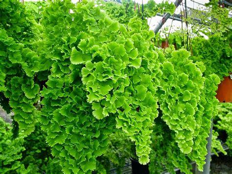 tanaman hias  contoh tanaman hi as daun  populer