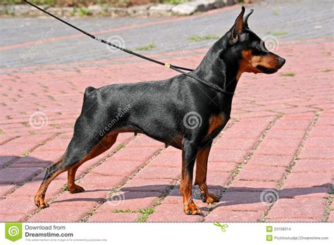 min pin images miniature pinscher stock photo image of summer canine
