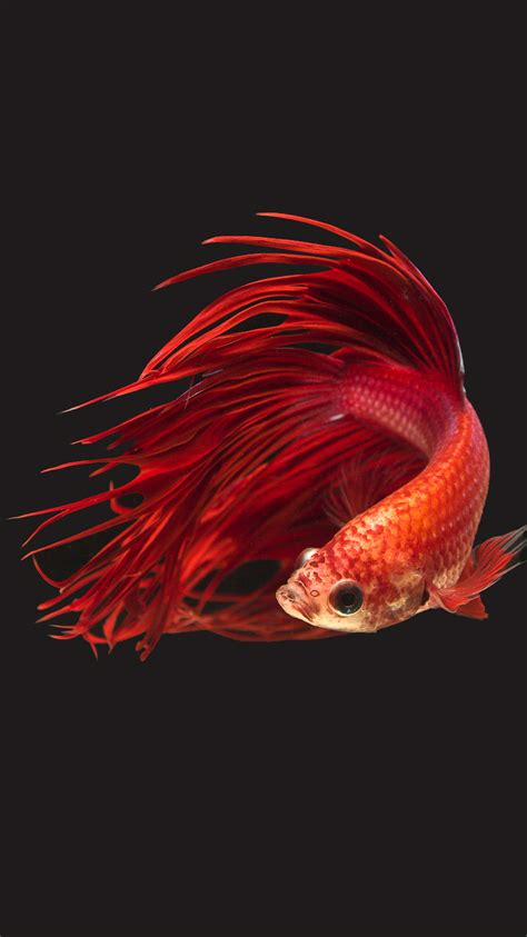 wallpaper iphone 6s hd fish apple iphone 6s wallpaper with super red crowntail betta