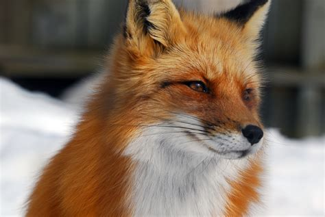 best fox pictures foxes frostys ramblings a left look at