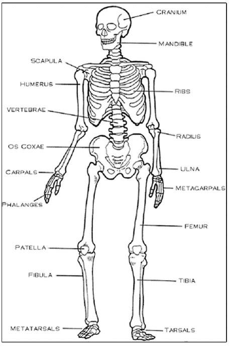 diagram of the skeletal system worksheet skeletal system mr medina