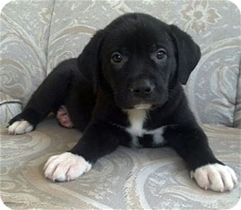 bulldog lab mix puppies jezebel adopted puppy chicago il american bulldog labrador retriever mix