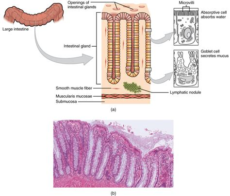 transverse section of small intestine file 2421 histology of the large intestinen jpg