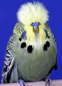 Bouffant bird takes top prize at Budgerigar Society World ...