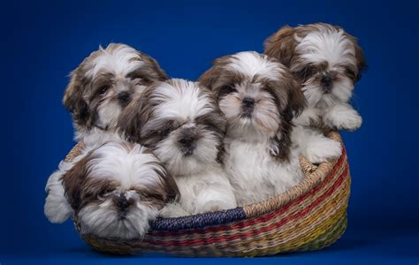 shih tzu pronounce shih tzu names
