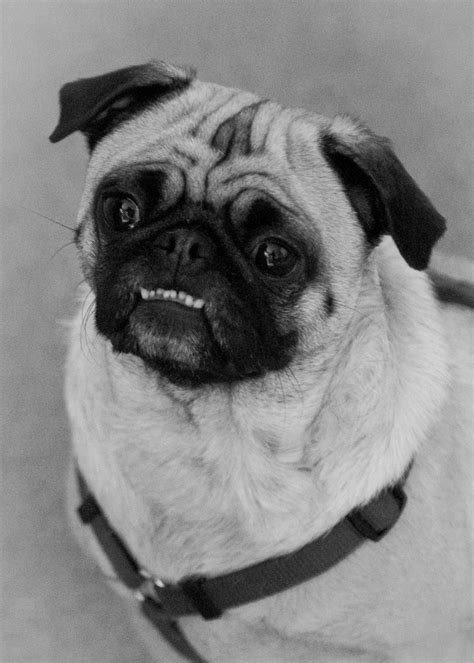 pug underbite we think it hugely important to support by will smith like success