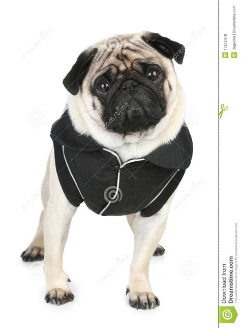 black pug clothing pug in black clothes royalty free stock photos image 17272478