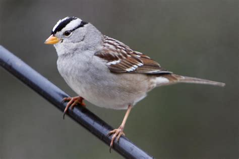white crowned sparrow birds of pennsylvania