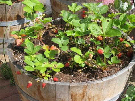 Strawberries Garden Growing On Container Png Hi Res 720p Hd Potted Vegetable Garden