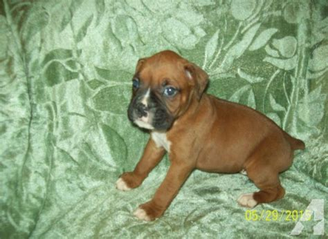 boxer puppies tn akc boxer puppies 5 weeks for sale in city tennessee classified