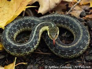 Garter Snake Upstate Ny Snakes Of New York