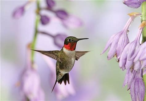 ruby throated hummingbird and purple hosta flowers ohio