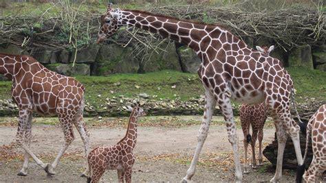 zoo osnabrueck giraffenbulle edgar mit  jahren