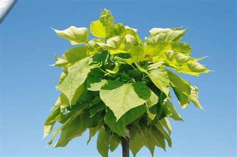 piante da giardino antizanzare piante antizanzare giardinaggio caratteristiche delle
