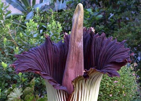 corpse flower watch a rare quot corpse flower quot bloom while far away from the