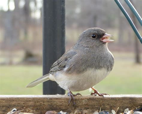 slate colored junco eyed junco slate colored feederwatch