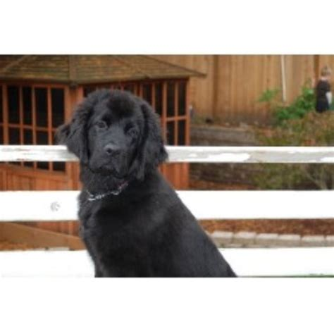 free puppies in des moines iowa of gold newfoundlands newfoundland breeder in des moines iowa listing id