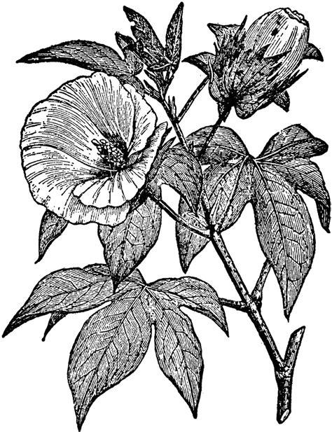 clipart etc cotton plant clipart etc