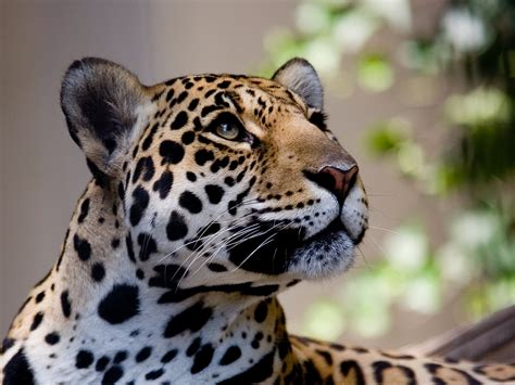 the leopard leopard