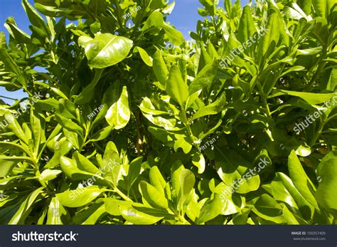 bright green foliage plants bush plant green leaf bush plant stock photo 100357409