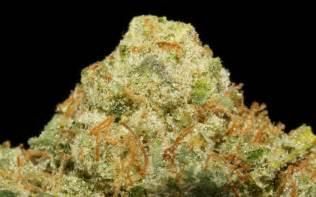 walker strain dawg walker marijuana strain reviews allbud