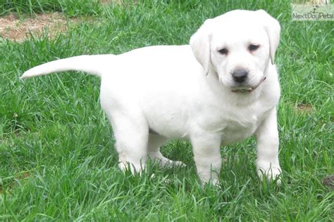 lab puppies for sale in illinois labrador retriever puppy for sale near chicago illinois f4499d80 04a1