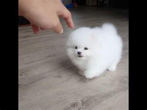 how much are white pomeranian puppies white pomeranian puppy steemit