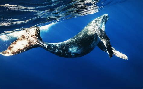whale wallpapers hd whale   images  backgrounds