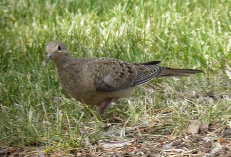 wild birds unlimited how to identify baby mourning doves