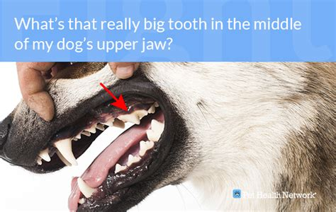 when do puppies get teeth what age do puppies get teeth 4k wallpapers