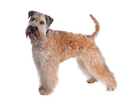 wheaten terrier puppies cost soft coated wheaten terrier petstarter