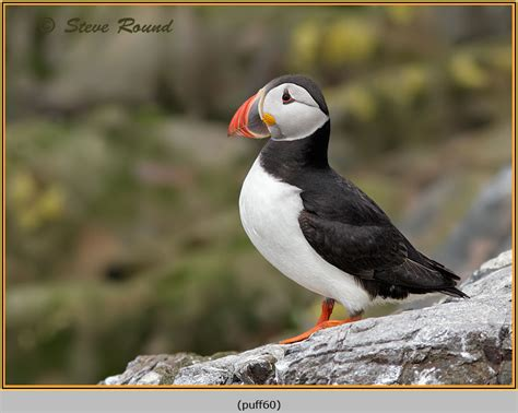 puffin bird facts images