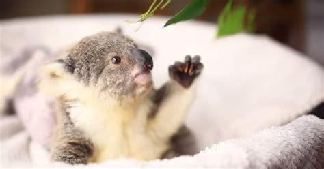 koala hängematte beb 233 koala est 225 de celebraci 243 n y lo han grabado en este v 237 deo
