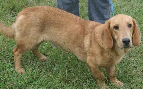 golden retriever cross breeds list golden retriever basset hound mix breed precious pets basset hound