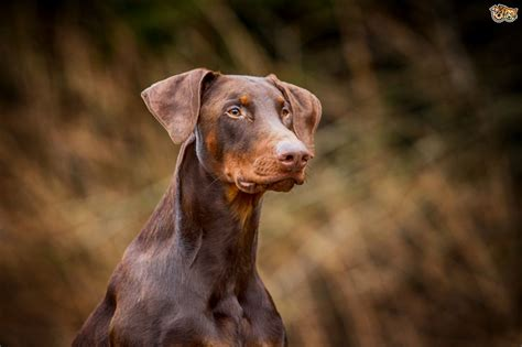 are dogs for you is a doberman pinscher the right for you pets4homes