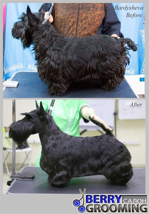types of scottie grooming styles 269 best quot before quot quot after quot dog grooming photos images on