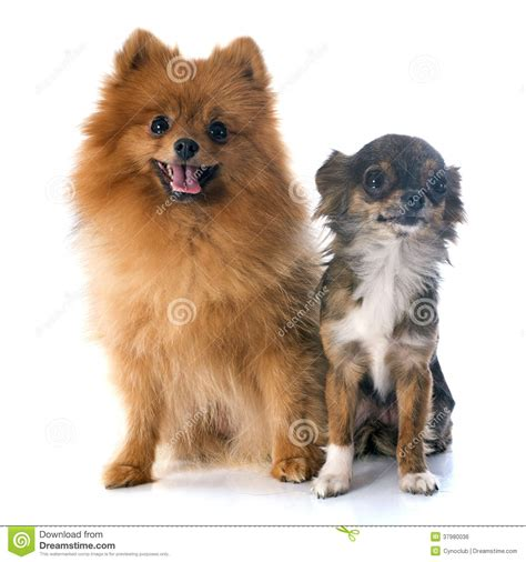 pomeranian and chihuahua pomeranian spitz and chihuahua royalty free stock image image 37980036