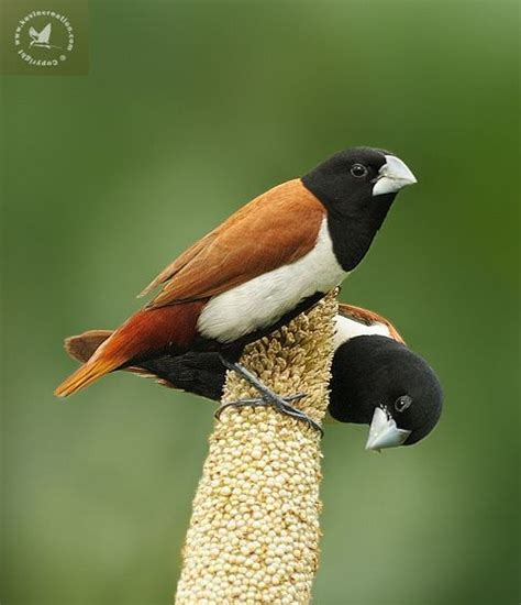 17 best images about estrildid finches on pinterest