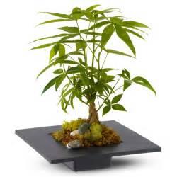 Japanese money tree plant money tree may bring good luck good