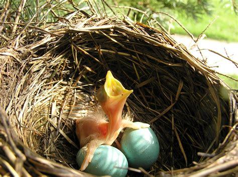 splendid little stars nests