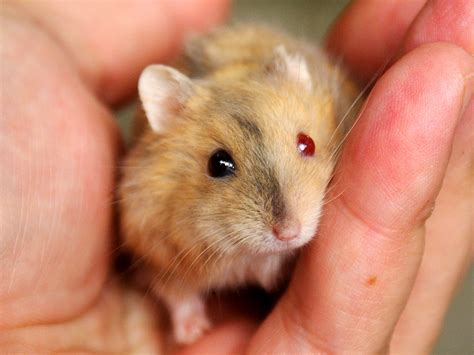 hamster colors brindle argente hamster eyed this is a brindle