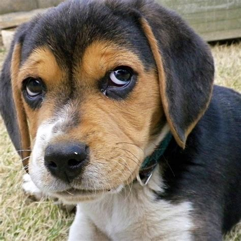sad puppy faces 10 reasons why beagles are the best dogs