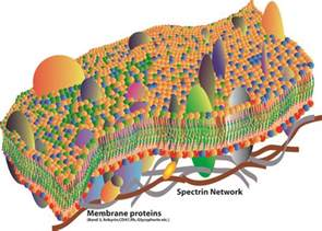 cell membrane occasionally referred