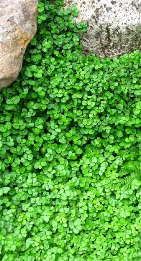 backyard ground cover 17 best ideas about ground cover plants on pinterest ground cover flowers outdoor